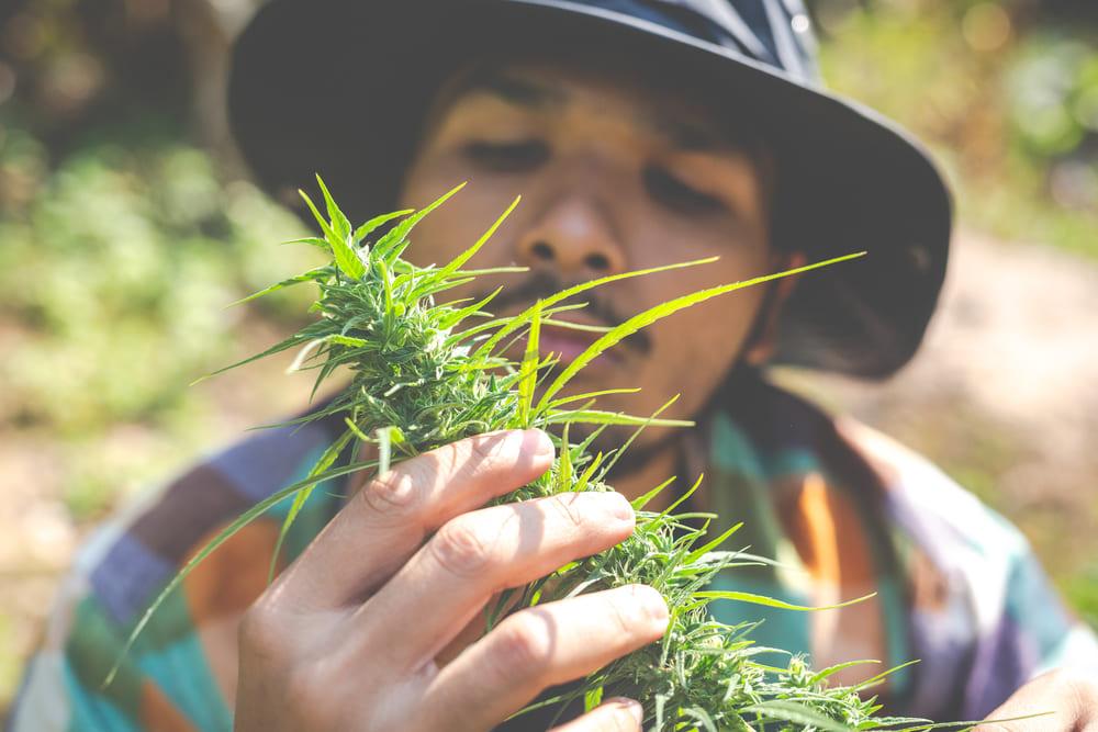 cbd olie, cannabisolie virkning, anvendelse